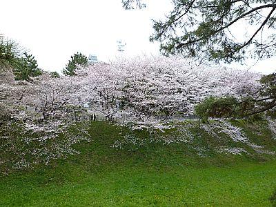 名古屋お花見 桜名所巡り