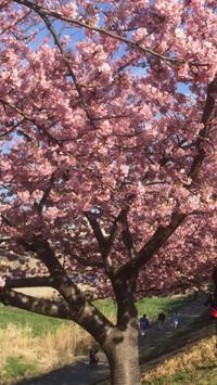 葵桜まつり