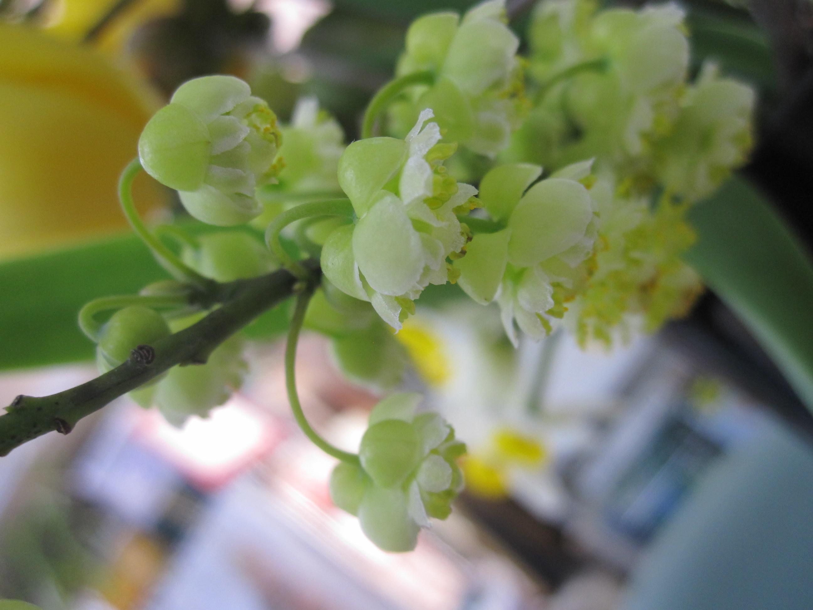 今日の茶花・青文字の花