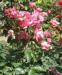 【募集】バラとつるもの、実もののフラワーレッスン