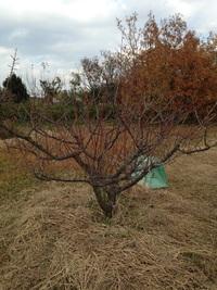梅の剪定(せんてい)