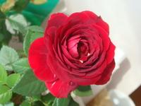 素敵薔薇(^∇^)