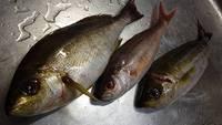 金洲の魚が入りました