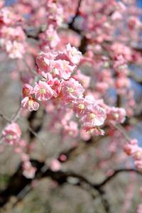 平芝公園の梅