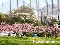 猿投の桃の花*