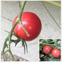 コボレダネのミニトマト*