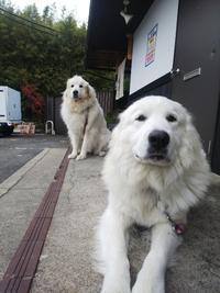 超大型犬ピレニーズのお散歩術