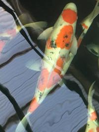 国魚錦鯉の池上げです、豊田市小坂の鯉の洋平さんで初参加させてもらいました