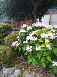 紫陽花が花屋敷のあちこちに咲き乱れています