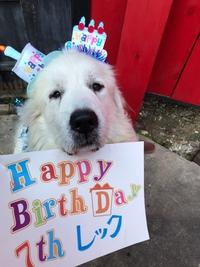 グレートピレニーズ レック七歳のお誕生日おめでとう♡