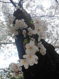 三好池、花屋敷の桜も満開です!