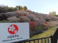 豊田市小原の四季桜と紅葉狩り