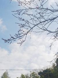 梅の花がつぼみ始めました!春よこい