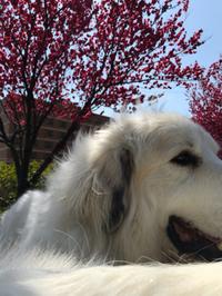 あっと言う間の桜でしたね、あとどれくらいもつのかな?
