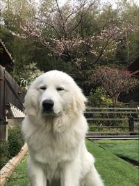 桜5分咲き 花屋敷の裏庭ソメイヨシノ