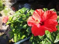 台風接近!一応営業予定です。真っ赤なハイビスカス 10月にどんどん咲くよ~