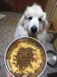 看板犬グレートピレニーズの朝ごはん