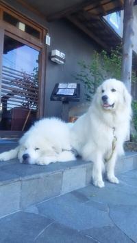 花屋敷の看板犬グレートピレニーズの朝のひととき