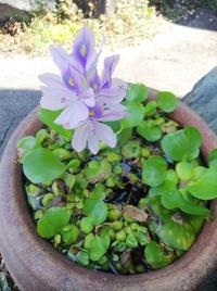 涼しげな浮き草の花  花屋敷玄関にて