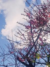 花屋敷 梅の花開花情報 桜前線