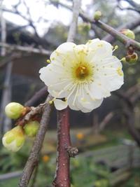 梅の花 どんどん咲いてきました!春の到来と花粉症
