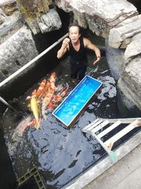 錦鯉の採寸  真夏は一番成長する季節です