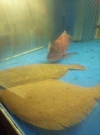 活ヒラメと鯛の舟盛り 豪華新鮮食材