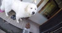 レックん 超大型 グレートピレニーズ 花屋敷 看板犬