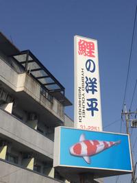 豊田市情報! 鯉マニアにはワクワクな時期、鯉の洋平さん大売り出し!