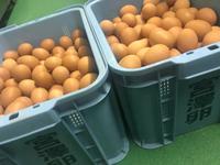 花屋敷 しげよし のお弁当は宮澤養鶏玉子使用でこんな卵焼き!