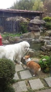 花屋敷の看板犬グレートピレニーズと仲良しの コーギーのとしひこさん