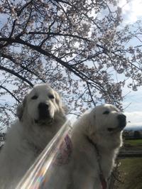 世界がコロナショックでも桜は咲き誇り ワンコは幸せです
