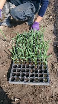 トウモロコシの定植