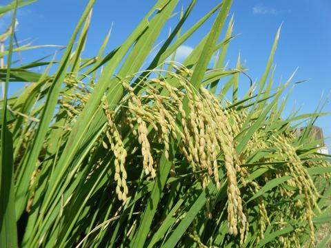 H28年産コシヒカリの稲刈りが始まりました♪