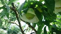 桃の収穫は…