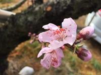 緊急企画!!桃の撮影会1日開放します!