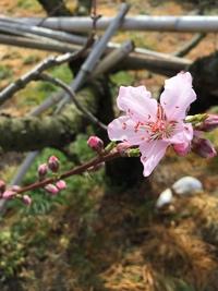 桃の花、開花宣言!