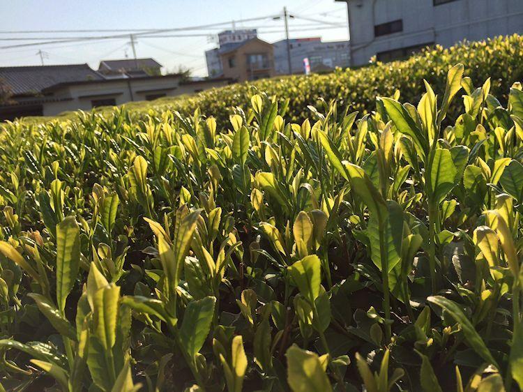 百年紅茶の新芽もすくすく育ってます!!