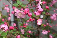 ハナカイドウが咲き始めました