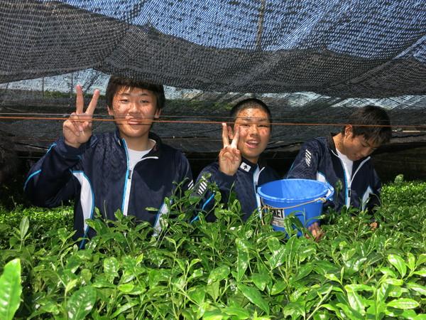初めての茶摘み体験
