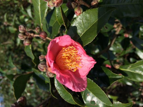 赤い茶の花