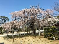 枝垂桜は今が旬!!
