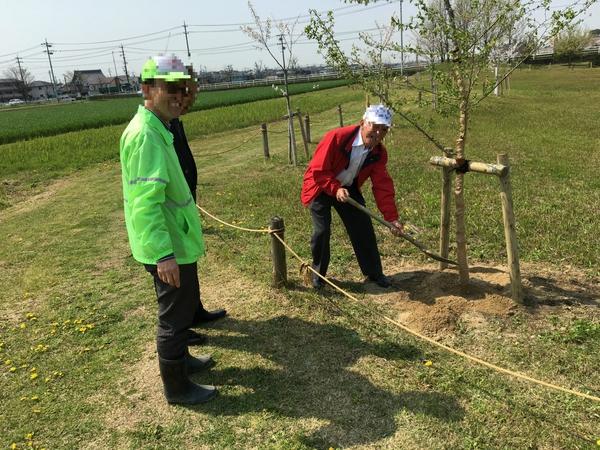 初音川ビオトープに桜を植えました