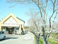 店の横 桜並木