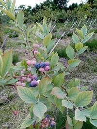 ブルーベリーの収穫 @幸田町