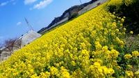 花ひろばで菜の花摘み♪ 2019/02/18 20:24:00