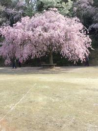 しだれ桜とこんにちはジョン