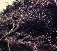 柿&桜の超レア風景。インスタ映え間違いなし‼️