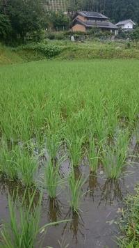 稲がスクスク成長中  まちの方が親子で手植えしました。 in  NPO法人 矢作川自給村稲穂の里