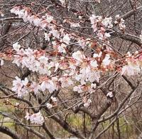 冬に桜❗️小原で四季桜が残っているこの場所は?